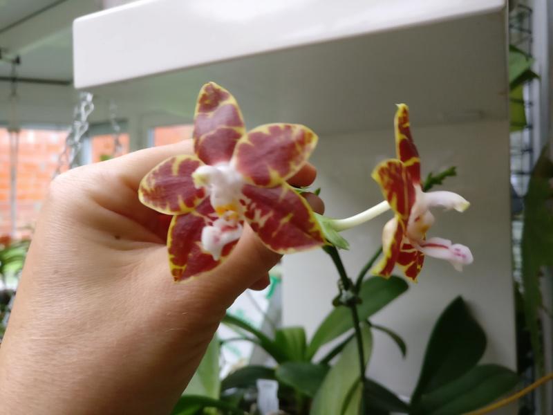 phalaenopsis ambonosa (Amboinensis x venosa red) Img_2062