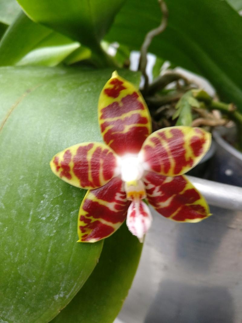 phalaenopsis ambonosa (Amboinensis x venosa red) Img_2064