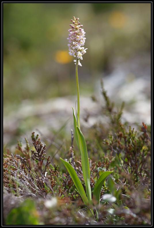 Gymnadenia conopsea x Pseudorchis albida 283a6610