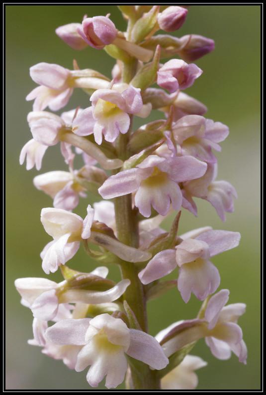 Gymnadenia conopsea x Pseudorchis albida 283a6711