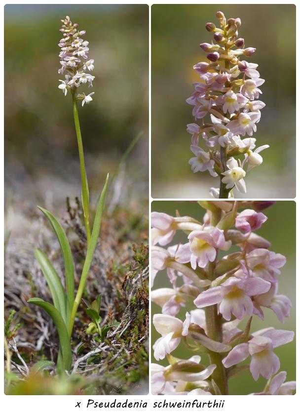 Gymnadenia conopsea x Pseudorchis albida Ps_sch10