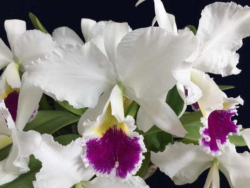 Photos  d'orchidées sur fond foncé  21687510