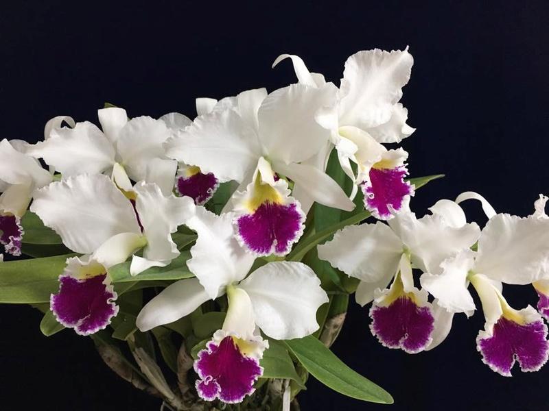 Photos  d'orchidées sur fond foncé  21766510