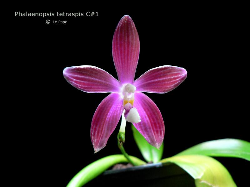 Phalaenopsis tetraspis  Phalae10