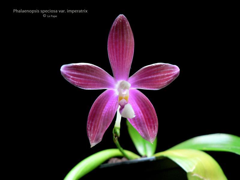 Phalaenopsis tetraspis  Phalae11