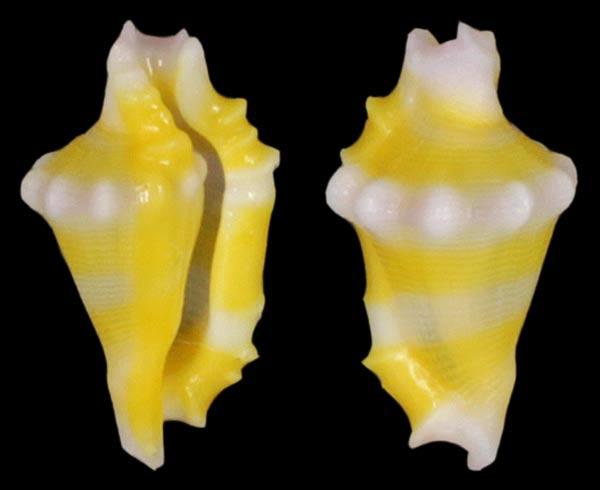 Rotaovula hirohitoi - C. N. Cate & Azuma in C. N. Cate, 1973 Rataov10