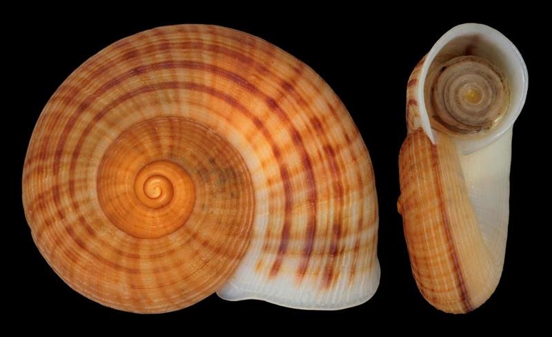 Tropidophora chavani (Fischer-Piette, 1949) Tropid10