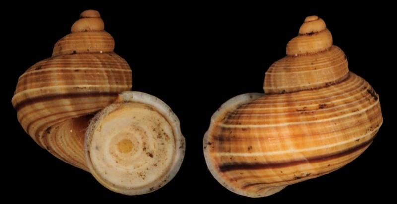 Tropidophora betsiloensis (E.A Smith, 1882) Tropid11