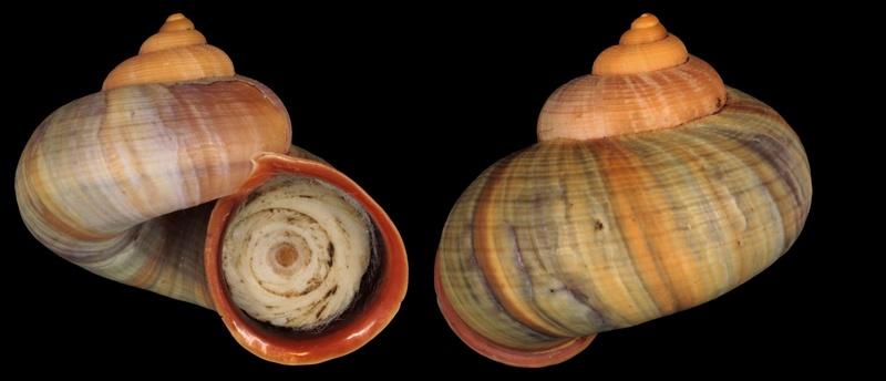 Tropidophora pyrostoma (Sowerby, 1843) Tropid12