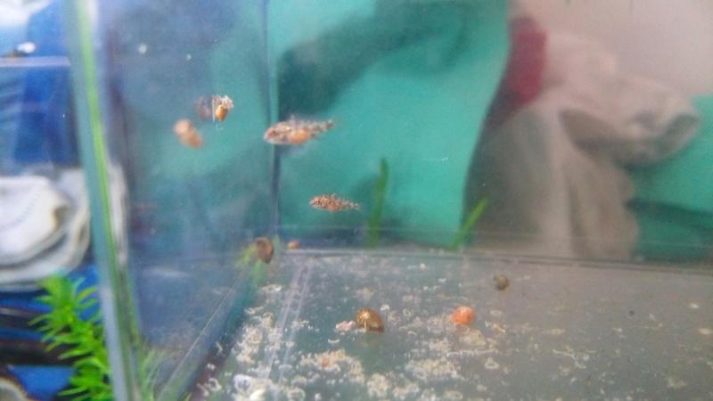 Reproduction Pelvicachromis pulcher Img_2018