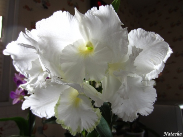 Dendrobium sanderae var Img_3610