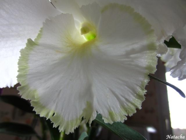 Dendrobium sanderae var Img_3611