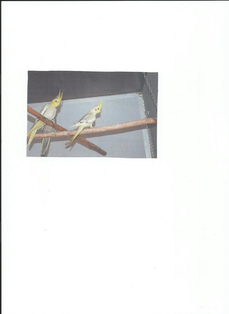femelle panachee opaline Test_n16