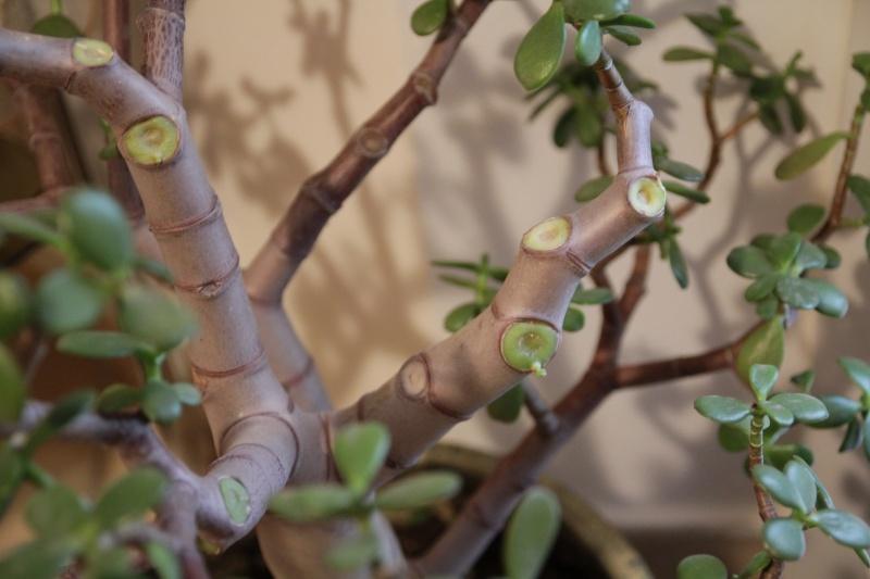 crassula perde le foglie e i rami Img_6212
