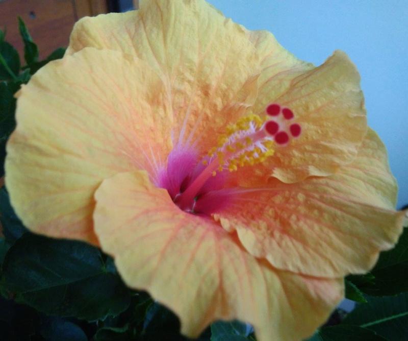 Mes hibiscus et moi...une longue histoire - Page 23 Jaune_10