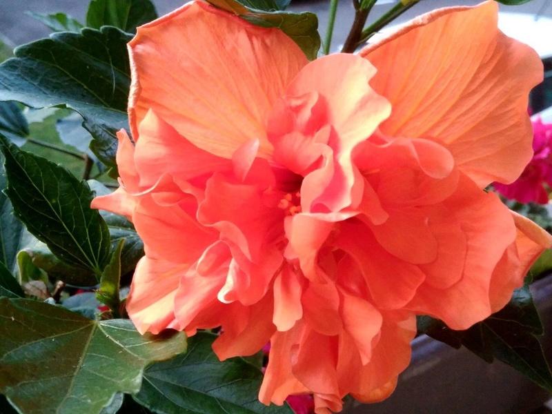 Mes hibiscus et moi...une longue histoire - Page 23 Orange10