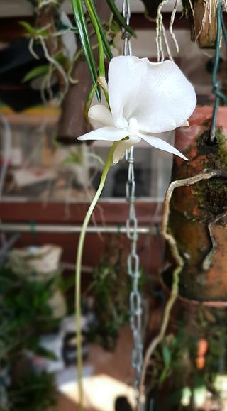 Angraecum scottianum Angrae10