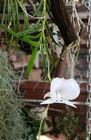 Angraecum scottianum Angrae15