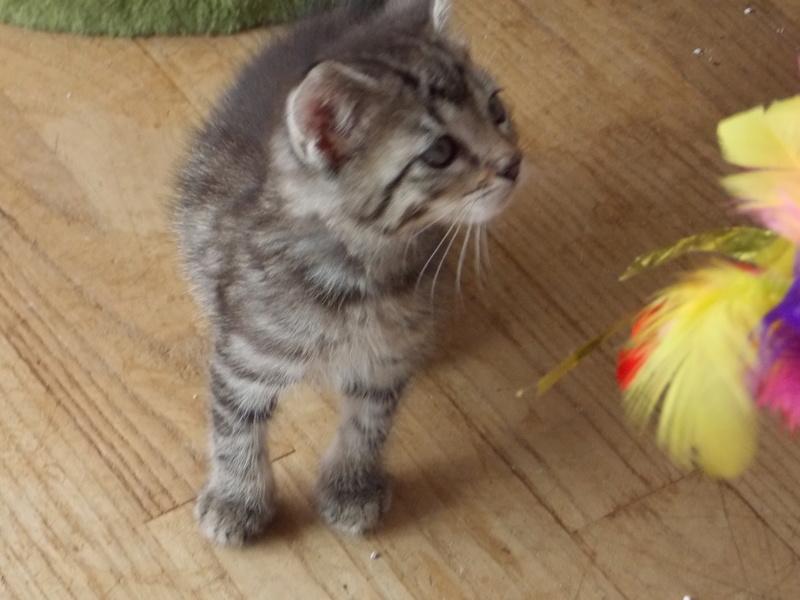 nemo - NEMO, chaton tigré gris tabby, né le 06/05/2017 Dscn1319