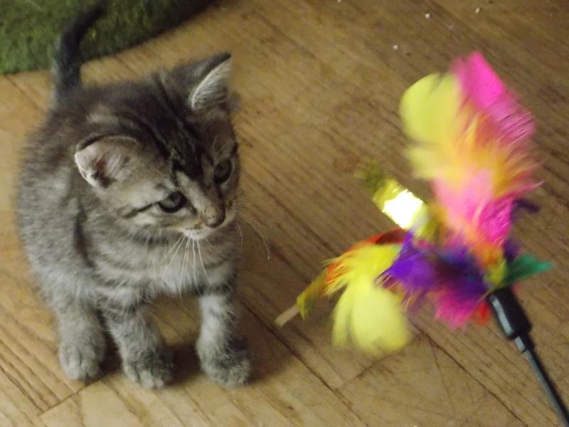 nemo - NEMO, chaton tigré gris tabby, né le 06/05/2017 Dscn1320
