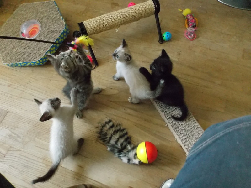 nemo - NEMO, chaton tigré gris tabby, né le 06/05/2017 Dscn1416