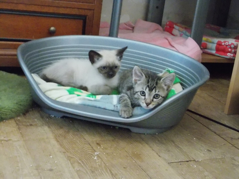 nemo - NEMO, chaton tigré gris tabby, né le 06/05/2017 Dscn1512