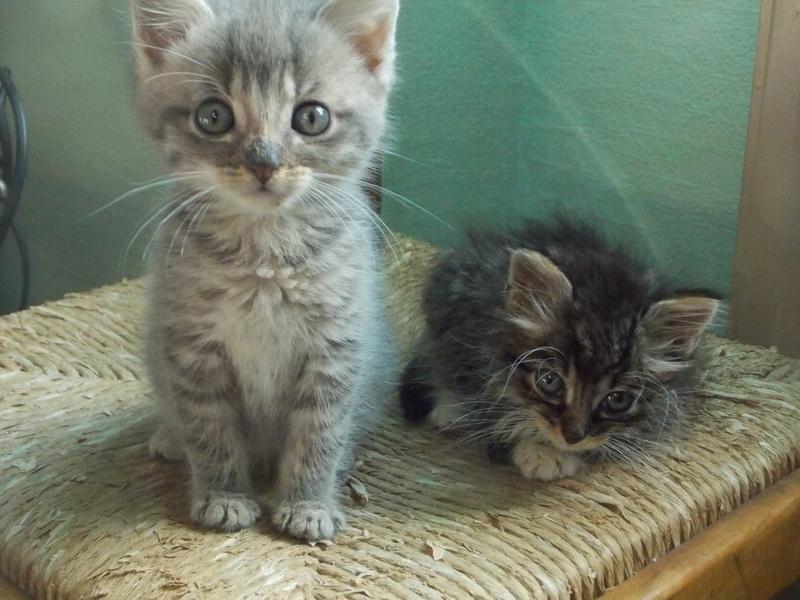 nairobi - Nairobi, chaton gris tabby, né le 08/06/2017 Dscn1533