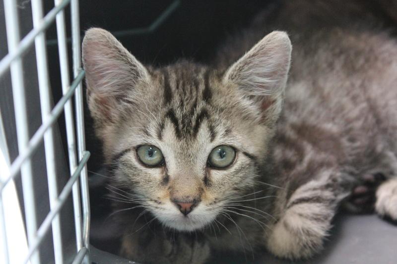 nemo - NEMO, chaton tigré gris tabby, né le 06/05/2017 Img_1510