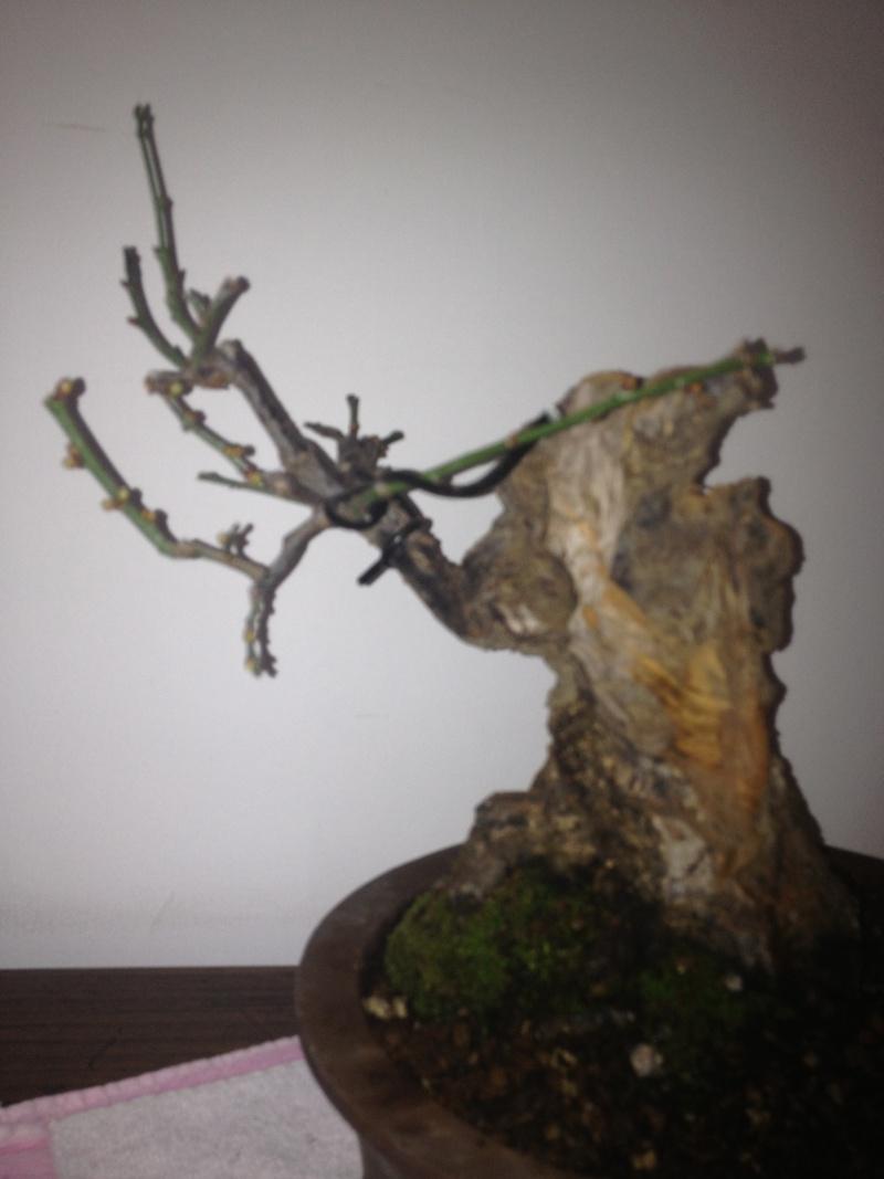 Prunus mume Img_1412