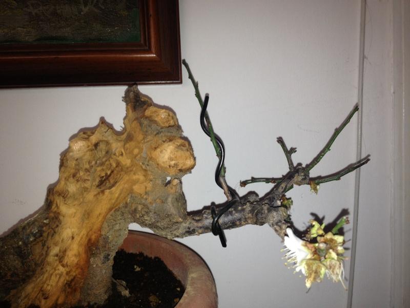 Prunus mume Img_1427