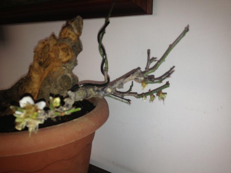 Prunus mume Img_1428