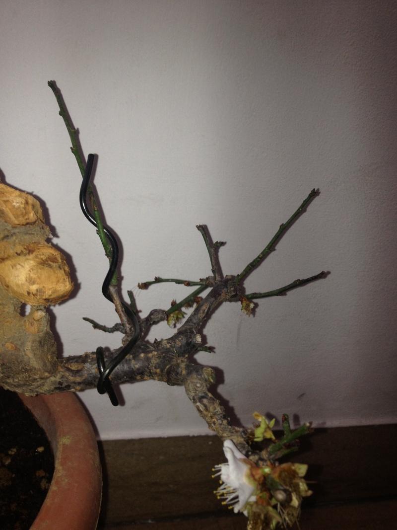 Prunus mume Img_1429
