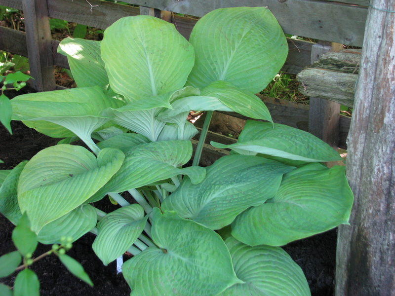 Guide d'identification: Hostas par photos - Page 3 Diva10