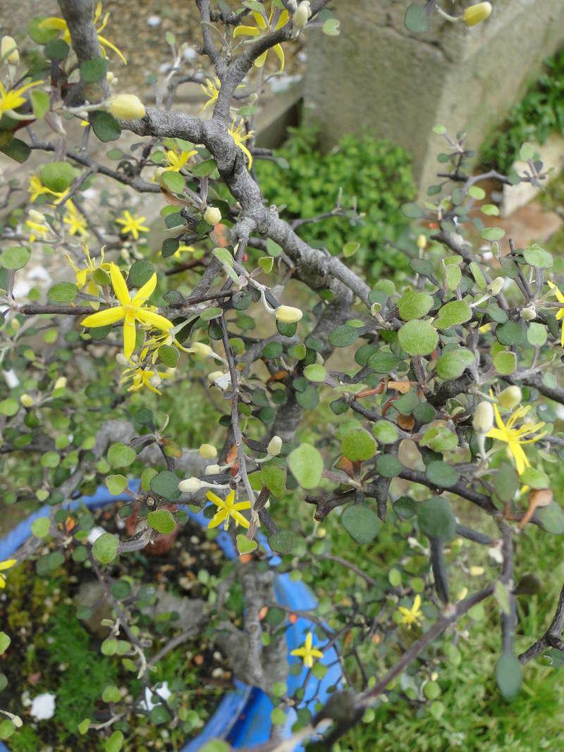 corokia cotoneaster Cotone10