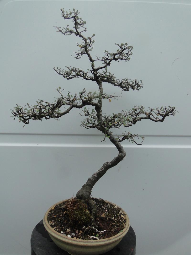 corokia cotoneaster Dsc06918