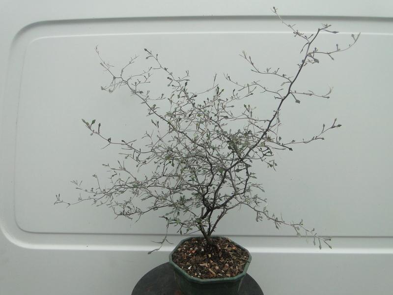 corokia cotoneaster Dsc06920