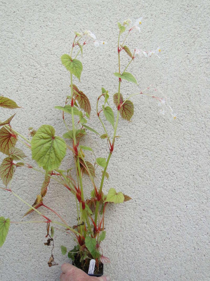 begonia grandis Dsc07213