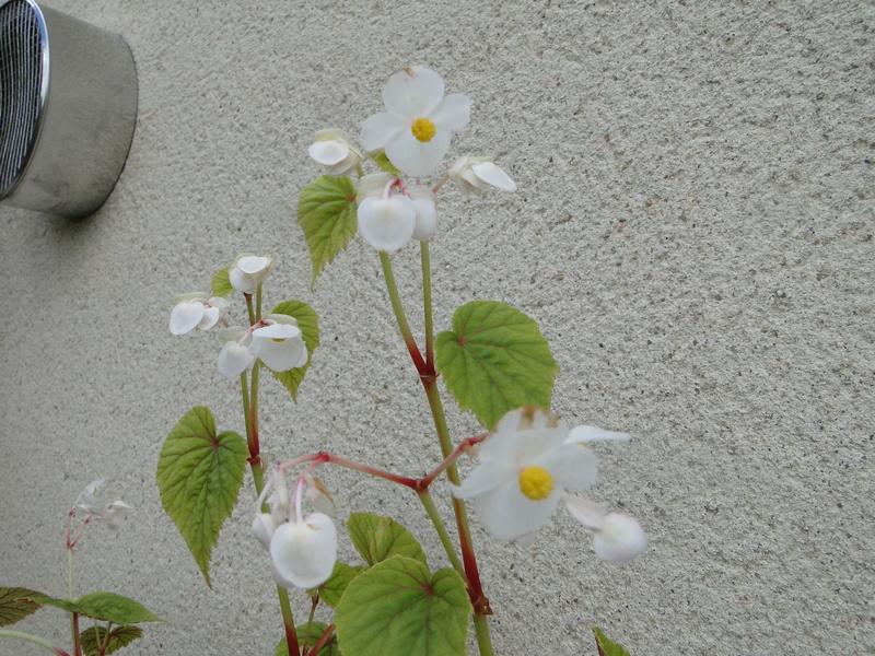 begonia grandis Dsc07214