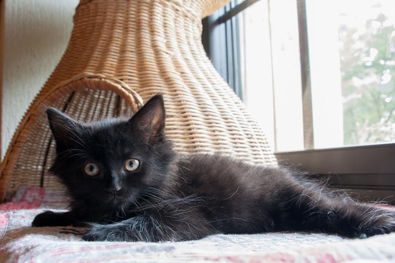 Night, femelle européenne noire angora, née début juin 2017 Night10