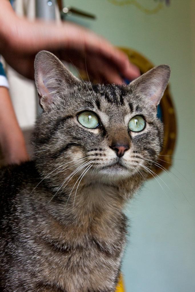 Patchat, mâle type européen tabby né le 1er mars 2016 Patcha10