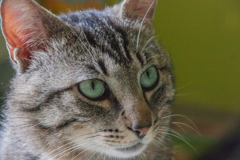 Patchat, mâle type européen tabby né le 1er mars 2016 Patcha11