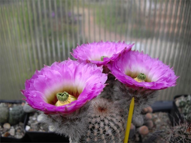 Kakteenblüten von 2012 - Seite 5 428