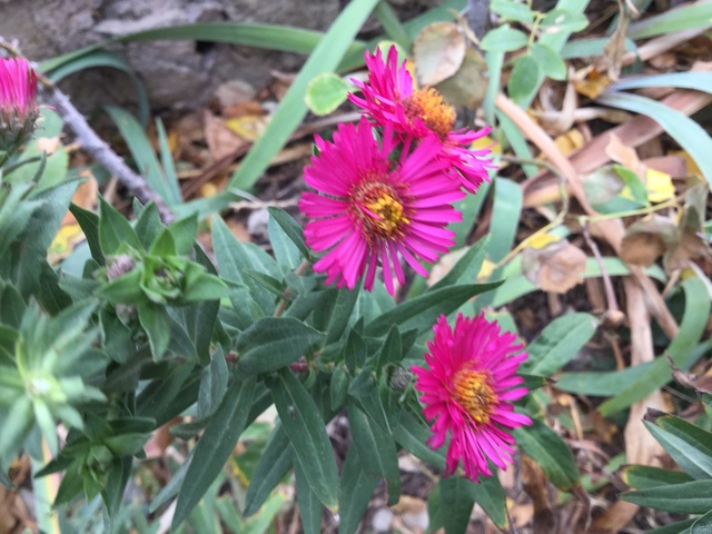 Aster d'automne  - Page 20 Img_2245