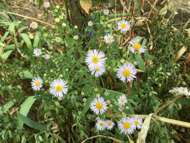 Aster d'automne  - Page 20 Img_2246