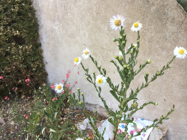 Aster d'automne  - Page 20 Img_2248