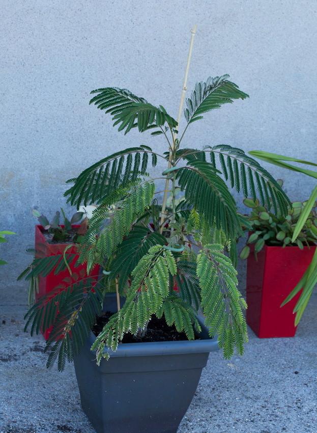 Projet bonsai de Albizia julibrissin  Img3_116