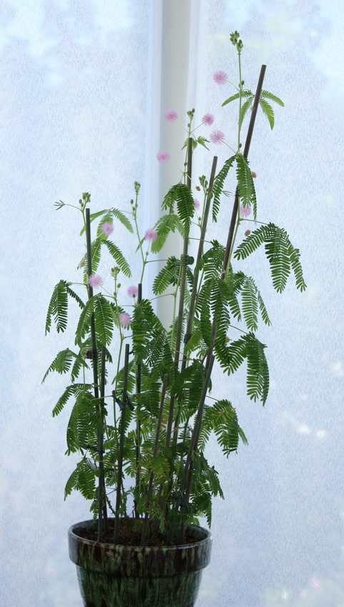 Qui a le plus grand Mimosa Pudica Img_6610