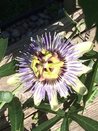 Passion Flowers Passio10