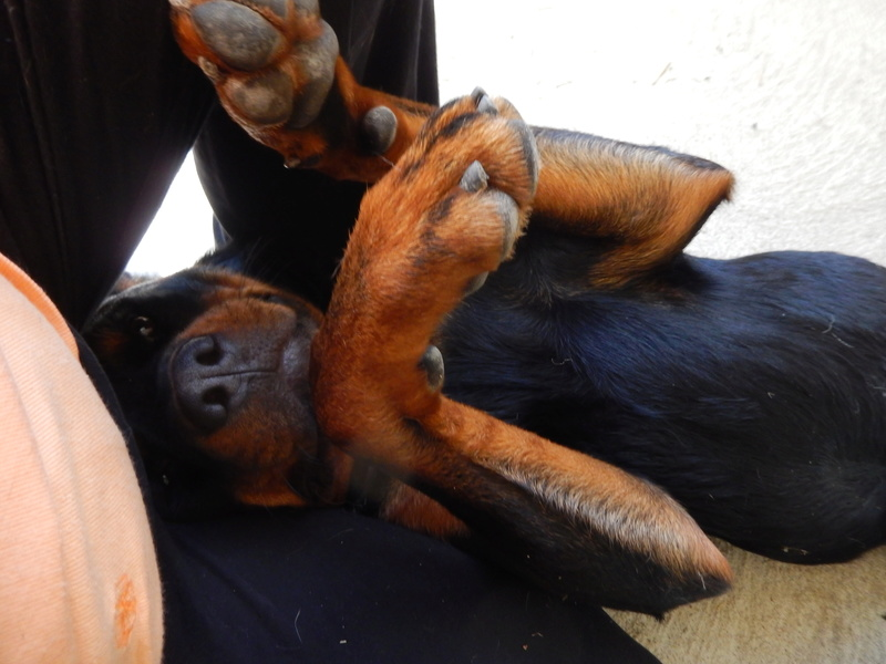 HOLLYWOOD (mâle rottweiller) 9dscn012