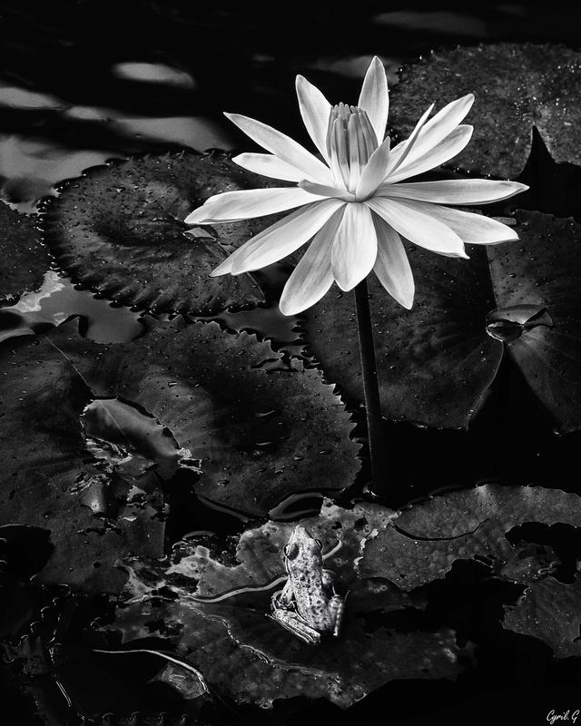 Le lotus et la grenouille + ajout Imgp9711